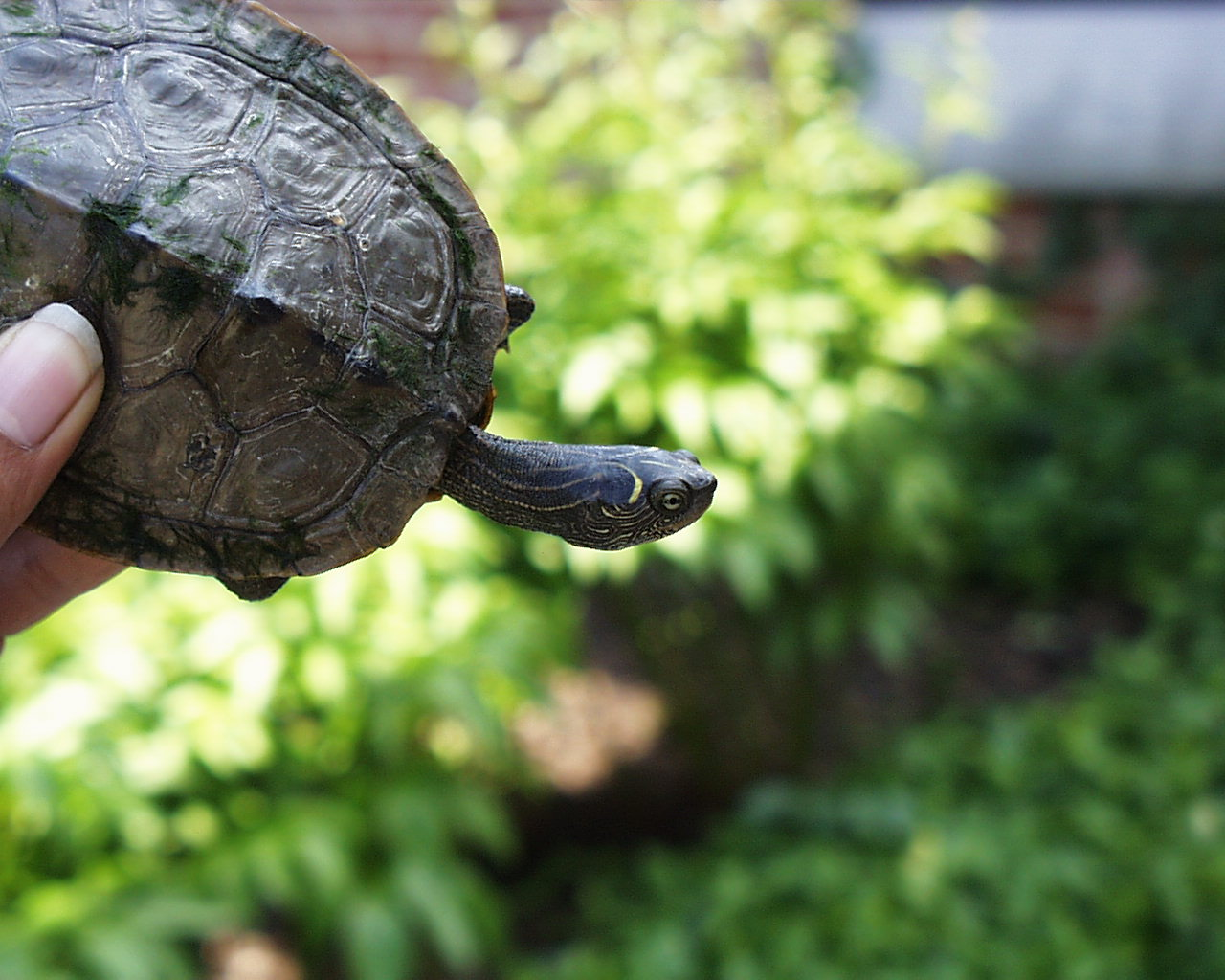False coloring in animals - Photo False Map Turtle
