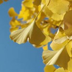 PHOTO: Golden ginkgo leaves in fall color.