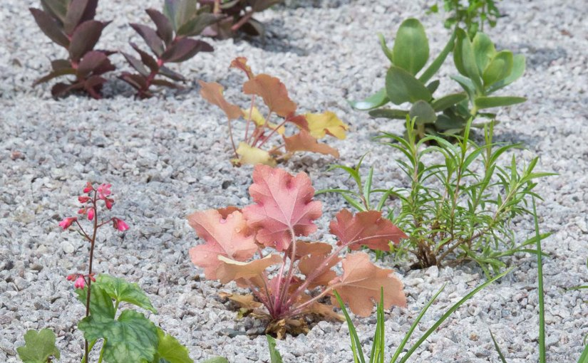 A variety of drought-resistant plantings in the new gravel gardens in Parking Lot 1