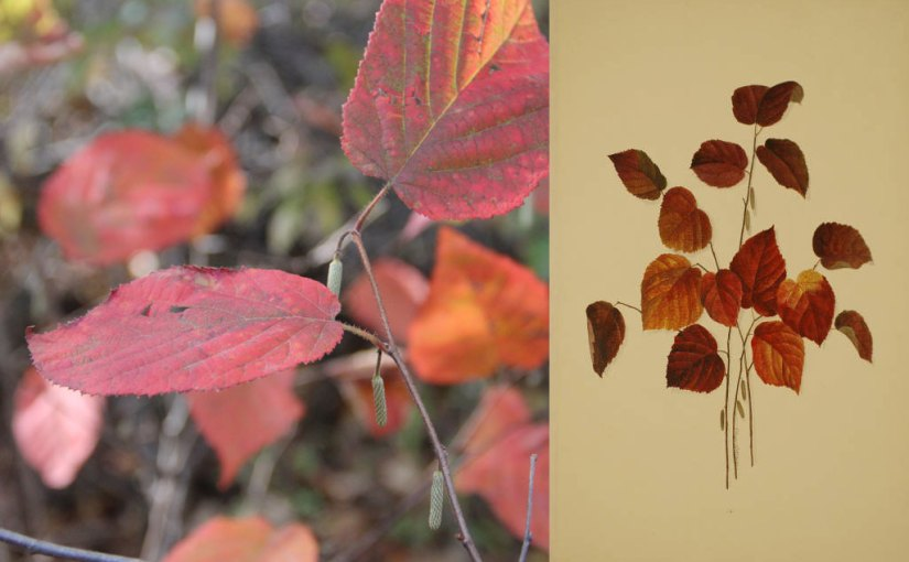 Hazelnut leaves in fall: photo and illustration.