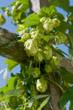 """PHOTO: Hops """"cones"""", the pollinated product ready for harvest."""
