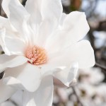 Merrill magnolia (Magnolia x loebneri 'Merrill') in bloom