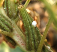 PHOTO: Closeup image of a tiny, white foamy-looking dot (one of many) on a host plant.