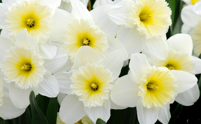 Welcome, Daffodils