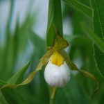 PHOTO: Closeup of white lady's slipper orchid (Cypripedium candidum).