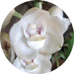 """Peristeria elata, """"dove orchid"""""""