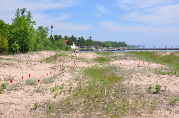 PHOTO: The research site in Wisconsin with flags marking study plants