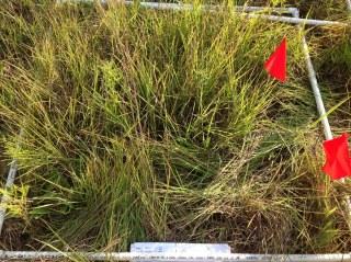 A research plot where little bluestem is growing over smaller prairie bush clover plants. Photo by Pati Vitt.
