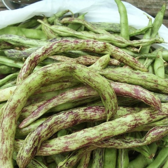 PHOTO: Harvested rattlesnake beans