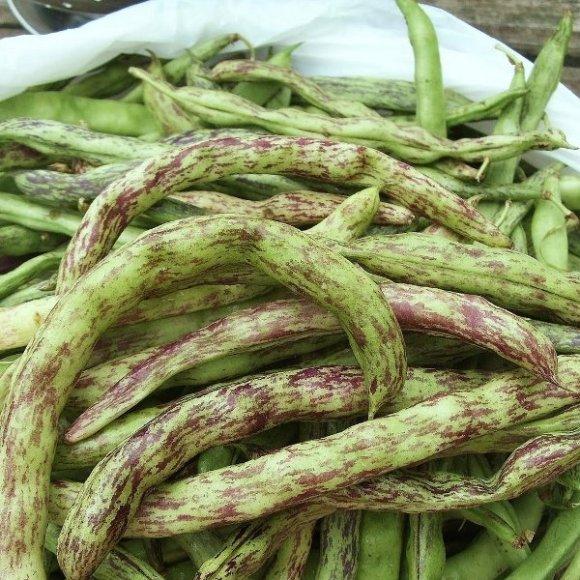 PHOTO: Harvested rattlesnake beans