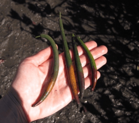 These relatively small propagules could become giant red mangrove trees.