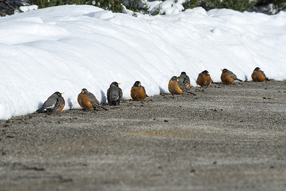 Robins (Turdus americanus) warming themselves on sun-heated pavement.