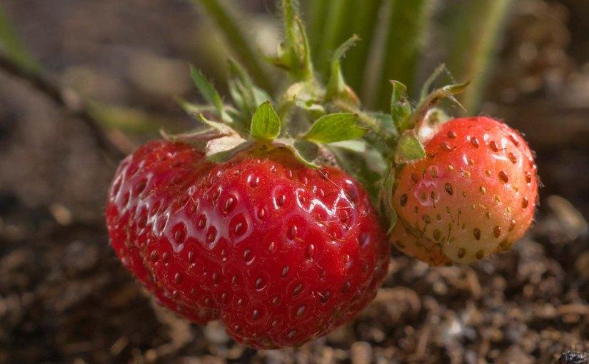 Nurturing a Rare (and Gourmet) Strawberry Plant
