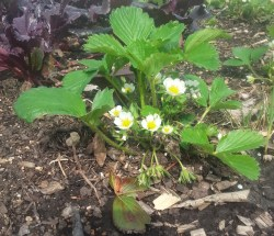 PHOTO: Blooming strawberry plant in the garden.