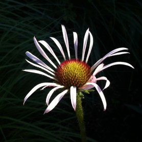 PHOTO: Echinacea isolated on dark background.