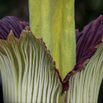 PHOTO: Titan arum (Amorphophallus titanum) in bloom.