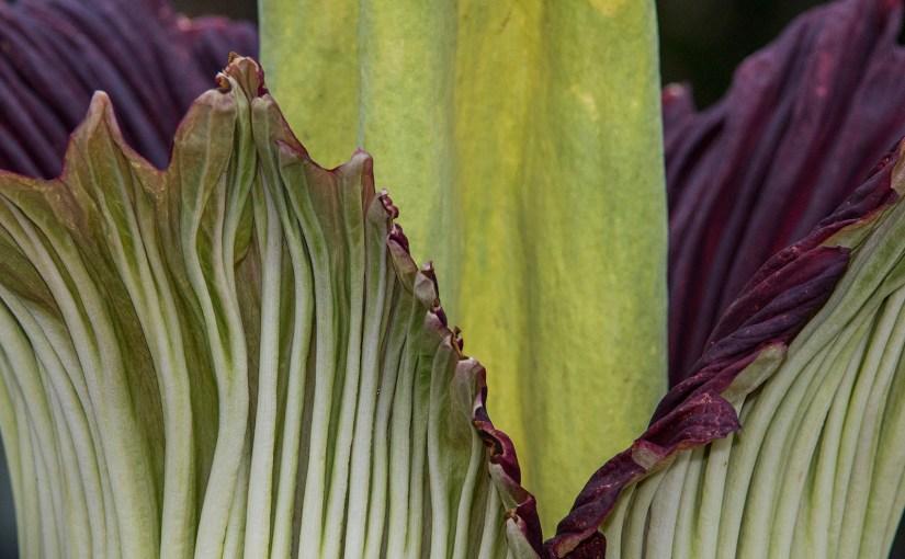 PHOTO: Titan arum (Amorphophallus titanum) in bloom.