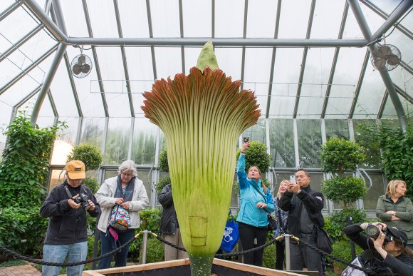 PHOTO: Phones and cameras are out in force today to capture the magical titan arum bloom. The square in the back of the flower is the replaced spathe where pollination occurred moments earlier.
