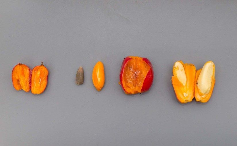 PHOTO: Seed by Spike's pollen is on the left; seed by Stinky's pollen is on the right. The large seed on the right, though still unriped, shows a great example of what the final titan arum (Amorphophallus titanum) seed will look like.