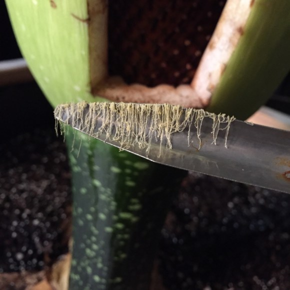 PHOTO: Long strings of pollen are collected from Alice the Amorphophallus.