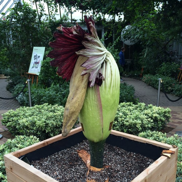 PHOTO: The titan arum spadix collapses after bloom.