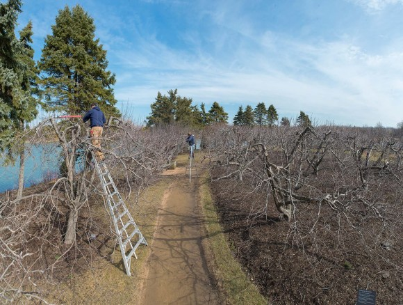PHOTO: Tom Tiddens and Tom Fritz pruning the apple orchard.