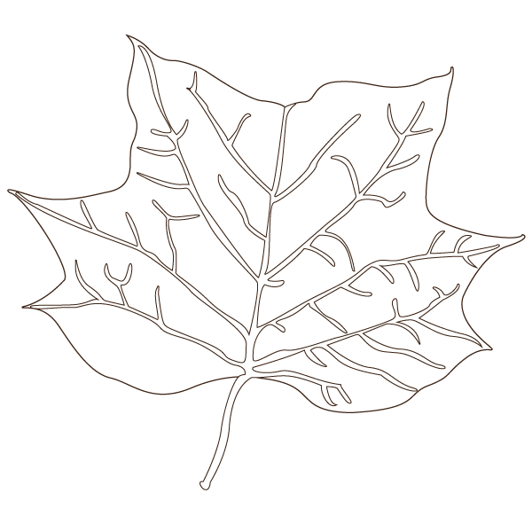 tulip tree leaf illustration