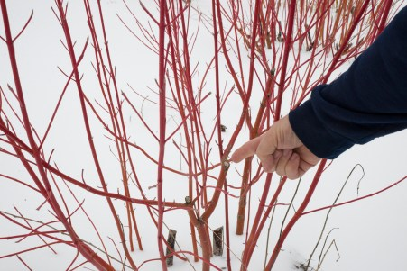 winer pruning Dave Cantwell 20130222_0947