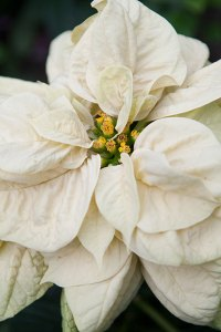 PHOTO: Winter Rose Eggnog poinsettia.