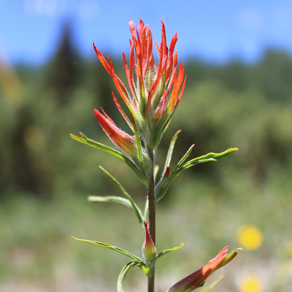 Wyoming paintbrush (castilleja linariifolia)