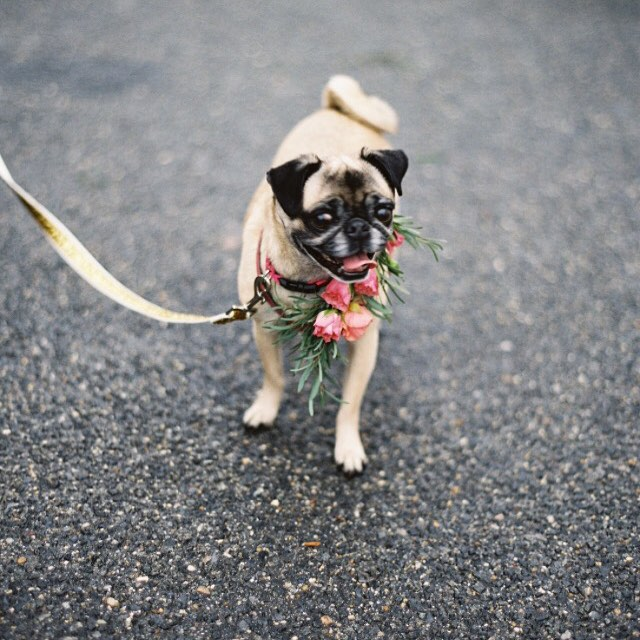 My adorable flower girl hamming it up at our surprise wedding! ️️️ Photo by @annerobert_ , beautiful flowers by @hollychapple  @taylorandhovevents @amiedeckerbeauty #pugsofinstagram #pugs #wedding #vintagerentals #dcevents #aCreativeDC #welovedc #gold