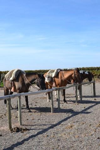 Argentine horses