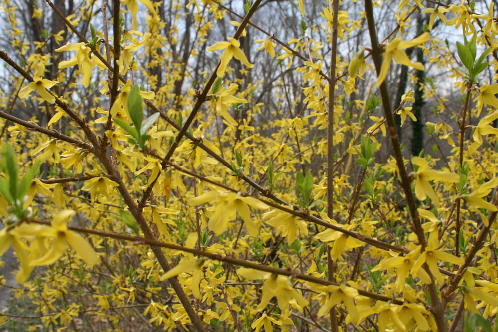 Yellow Flowers from a bush