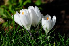 croccus white side
