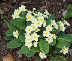 Clump of primula vulgaris