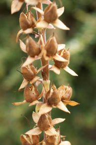Foxglove seeds