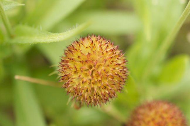 Gazania seed head