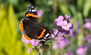 Another Red Admiral on Erysimum