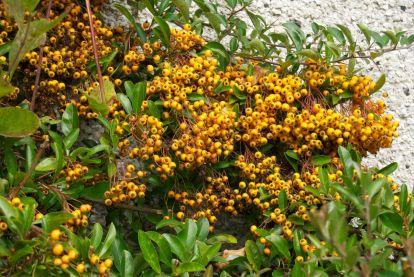 Orange pyracantha