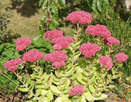 Sedum - I am happy with this but I will probably split it to encourage it to spread.