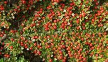 September border berries