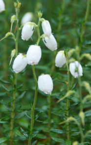 White bell heather