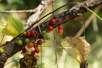 Red berries of what I think is Black Bryony taken in South West France in early September.