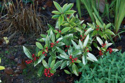 red berries Nov