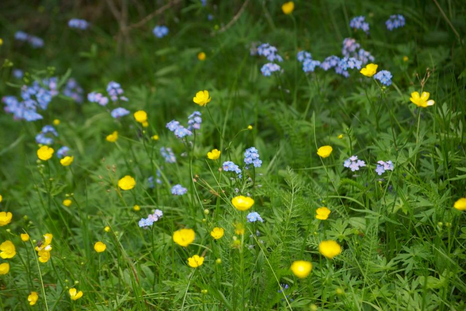 Buttercups and Forget-me-nots. What a wonderful colour combination