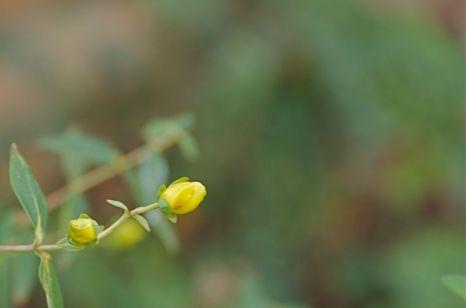 Hypericum bud