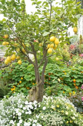 Lemons thrive despite the northerly climate