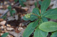 Euphorbia new growth