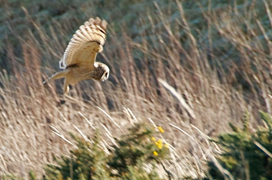 Short eared owl goes in for the kill