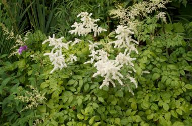 The white astilbe was in full bloom at the bottom of the garden